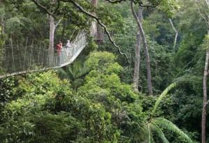 Puentes colgantes del Taman Negara en Malasia
