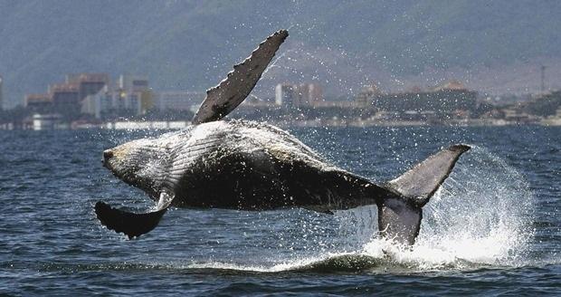 Las ballenas jorobadas llegan a Puerto Vallarta