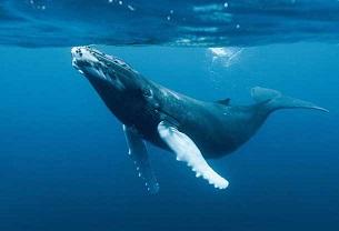 ballenas puerto vallarta