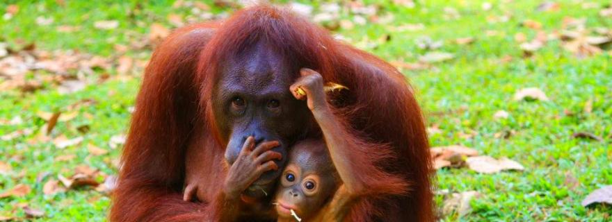 isla de los orangutanes